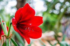 Hippeastrum in the garden Royalty Free Stock Images