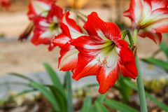 Hippeastrum in the garden Royalty Free Stock Image