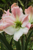 Hippeastrum Royalty Free Stock Photo