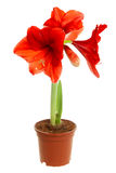 Hippeastrum intiflorum in pot Royalty Free Stock Images