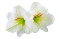 Hippeastrum Stock Photos