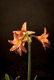 Hippeastrum johnsonii Bury Royalty Free Stock Photo