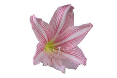 Hippeastrum johnsonii flower Stock Photography