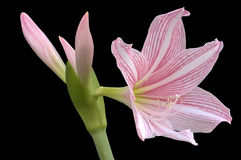 Hippeastrum johnsonii isolated on black Stock Images