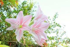 Hippeastrum johnsonii Zakopuje kwiatu Zdjęcie Royalty Free