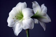 Hippeastrum Matterhorn. Beautiful blooming white, wonderful flower Stock Photography