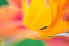 Hippeastrum met insect Royalty-vrije Stock Fotografie