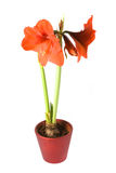 Hippeastrum mix. Isolated flower in pot: Hippeastrum mix royalty free stock images