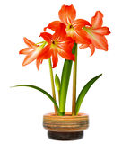 Hippeastrum in pot Royalty Free Stock Photos