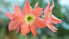 Hippeastrum Puniceum Flower High Definition Footage. Hippeastrum puniceum flower head in peach also none as barbados lily, easter lily, cacao lily, cocoa lily stock footage