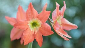 Hippeastrum Puniceum Flower High Definition Footage. Hippeastrum puniceum flower head in peach also none as barbados lily, easter lily, cacao lily, cocoa lily stock video
