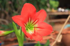 Hippeastrum red flower. Hippeastrum johnsonii bury red flower Royalty Free Stock Photos