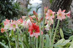 Hippeastrum rutilum flower Stock Photos