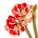 Hippeastrum Royalty Free Stock Photography