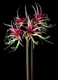 Hippeastrum sybister Stock Photo