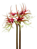 Hippeastrum sybister Chiko Royalty Free Stock Image