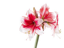 Hippeastrum Temptation Stock Photo