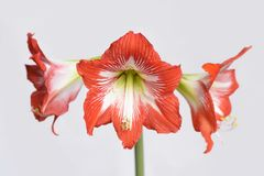 Red hippeastrum flower closeup isolated on white background. Hippeastrum is an unpretentious home flower with great beautiful flowers Stock Photos