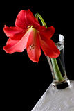 Hippeastrum in vase. Red Hippeastrum flower in a vase on a table against black background Royalty Free Stock Image
