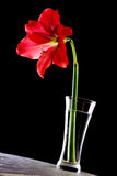 Hippeastrum in vase stock photos