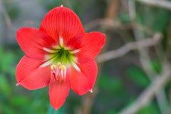 Hippeastrumjohnsonii in de tuin. stock foto