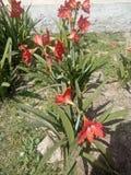Hippeastrumpuniceum royalty-vrije stock afbeeldingen