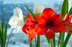 Hippeastrums rouges et blancs fleurissant en hiver à l'intérieur Image stock