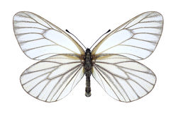 Hippia Aporia πεταλούδων Στοκ φωτογραφία με δικαίωμα ελεύθερης χρήσης