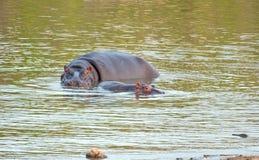 hippo αγελάδων μόσχων Στοκ φωτογραφίες με δικαίωμα ελεύθερης χρήσης
