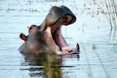 Hippo με το στόμα ανοικτό στοκ φωτογραφία με δικαίωμα ελεύθερης χρήσης