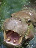 hippo μικρό Στοκ Φωτογραφία