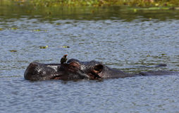 Hippo που κρατά δροσερό Στοκ εικόνα με δικαίωμα ελεύθερης χρήσης
