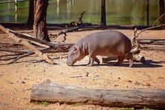 Hippo που περπατά από μια λίμνη στοκ φωτογραφίες