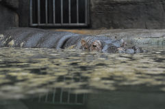 Hippo στο ΖΩΟΛΟΓΙΚΟ ΚΉΠΟ Στοκ εικόνα με δικαίωμα ελεύθερης χρήσης