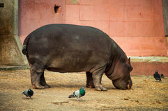 Hippo στο ζωολογικό κήπο της Λισσαβώνας στοκ εικόνα με δικαίωμα ελεύθερης χρήσης
