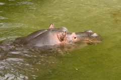 Hippo 1. Africa, african, animal, basking, bath, bathing, bite, chilling, conservation, cool, creature, cuddly, cute, danger, drown, hazard, hide, hippo Royalty Free Stock Photography
