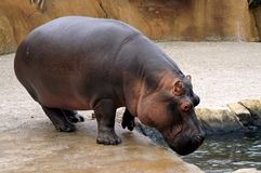 Hippo. Out of Water Stock Images
