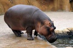 Hippo Stock Afbeeldingen