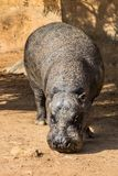 hippo foto de stock royalty free