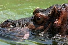 hippo Στοκ Φωτογραφίες