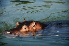 hippo Στοκ φωτογραφία με δικαίωμα ελεύθερης χρήσης