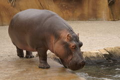 Hippo. Potamus at the St. Louis Zoo Royalty Free Stock Images