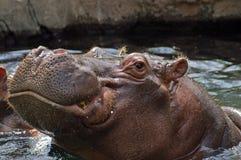 Hippo. Potamus at the St. Louis Zoo Stock Photography