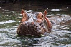 Hippo. Potamus at the St. Louis Zoo Royalty Free Stock Photography