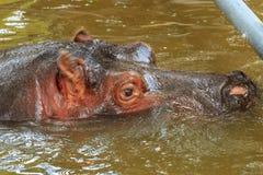 hippo fotografia de stock