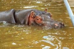 hippo fotos de stock