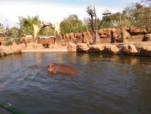 hippo imagens de stock