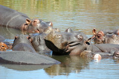 Hippo. S at Kruger National Park, South Africa Royalty Free Stock Photo