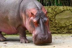 Hippo. Closeup of a hippo. Very detailed Royalty Free Stock Photo