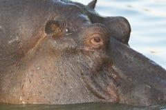 hippo Στοκ Εικόνα